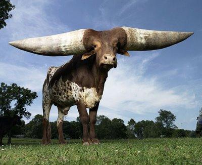 OX - con bò