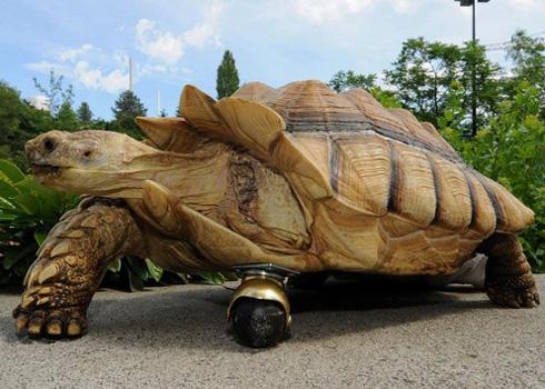 Chú rùa châu Phi được lắp chân giả