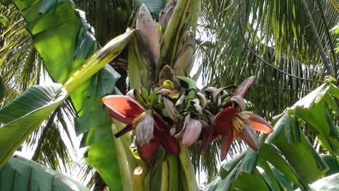 Các bắp hoa tuy không lớn bằng các cây chuối bình thường nhưng vẫn ra hoa, kết quả rất đều