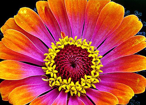Ngắm những sắc mầu rực rỡ của hoa (9)