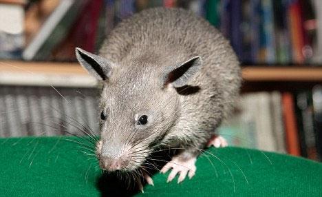 """Chuột khổng lồ đang """"khủng bố"""" người dân tại khu nhà cho thuê Marcy"""