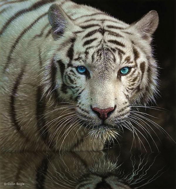 Những bức vẽ động vật hoang dã thật tới từng chi tiết của họa sĩ Collin Bogle (16)