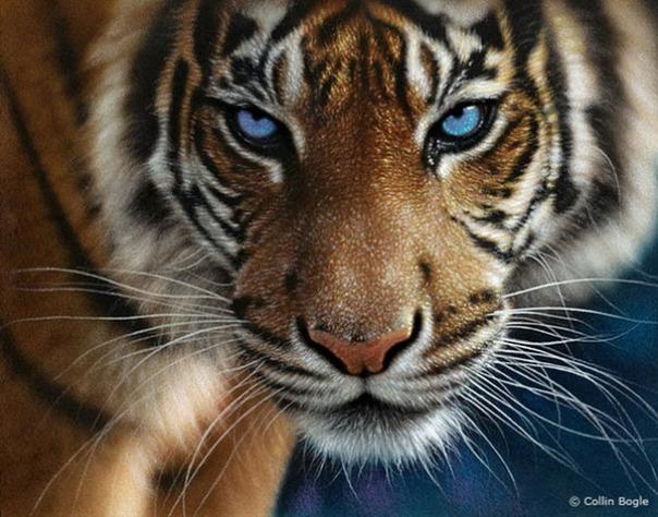 Những bức vẽ động vật hoang dã thật tới từng chi tiết của họa sĩ Collin Bogle (15)