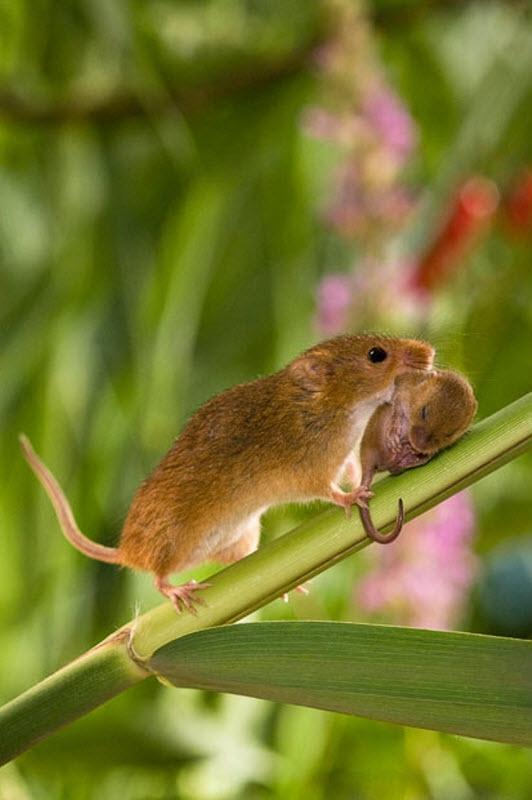 Một vài hình ảnh ấn tượng về chuột đồng - chuot dong - an tuong - thu vi