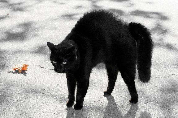 Mèo đen - Biểu tượng Halloween