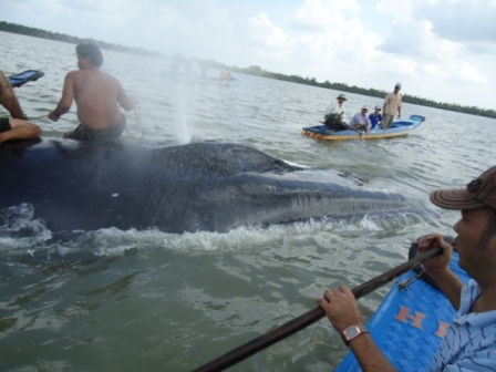Cứu hộ thành công cá voi nặng hơn 30 tấn