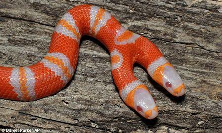 Con rắn sữa 2 đầu này mắc chứng bạch tạng
