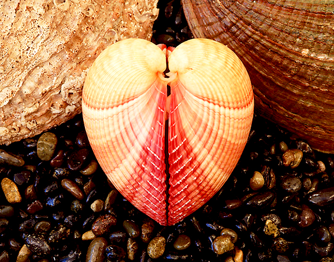 sea_shells_pictures_13