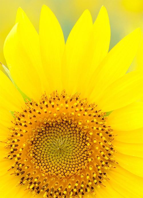 HoaHướngDươngrựcrỡsắcvàngtrongnắng|hoahuongduong|Sunflower(7)