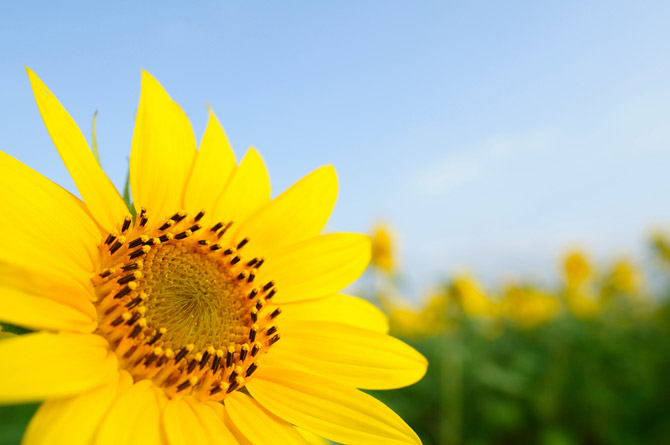 HoaHướngDươngrựcrỡsắcvàngtrongnắng|hoahuongduong|Sunflower(6)