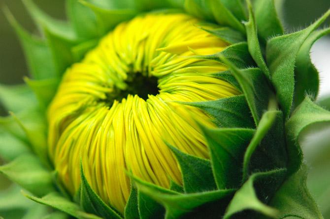 HoaHướngDươngrựcrỡsắcvàngtrongnắng|hoahuongduong|Sunflower(5)