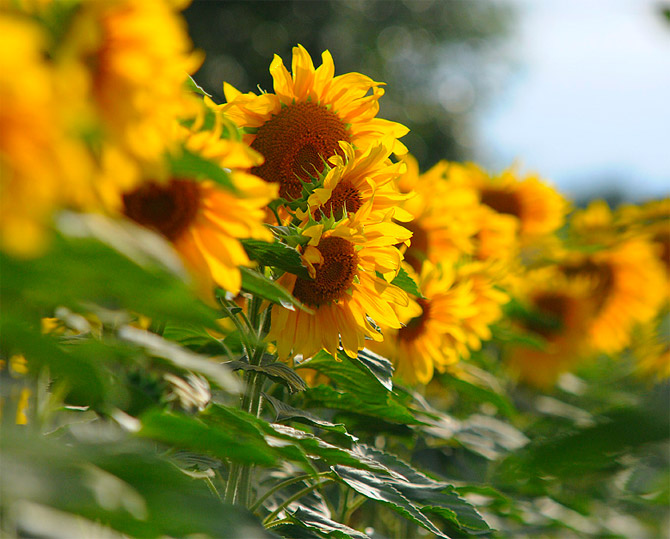 HoaHướngDươngrựcrỡsắcvàngtrongnắng|hoahuongduong|Sunflower(3)