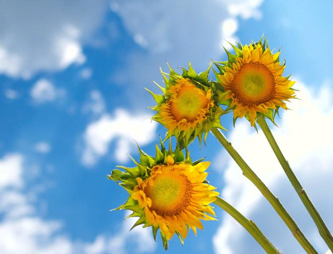 HoaHướngDươngrựcrỡsắcvàngtrongnắng|hoahuongduong|Sunflower(2)