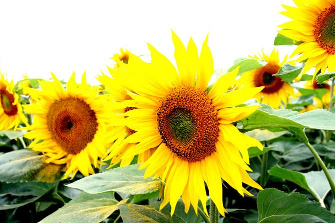 HoaHướngDươngrựcrỡsắcvàngtrongnắng|hoahuongduong|Sunflower(15)
