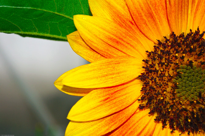 HoaHướngDươngrựcrỡsắcvàngtrongnắng|hoahuongduong|Sunflower(14)
