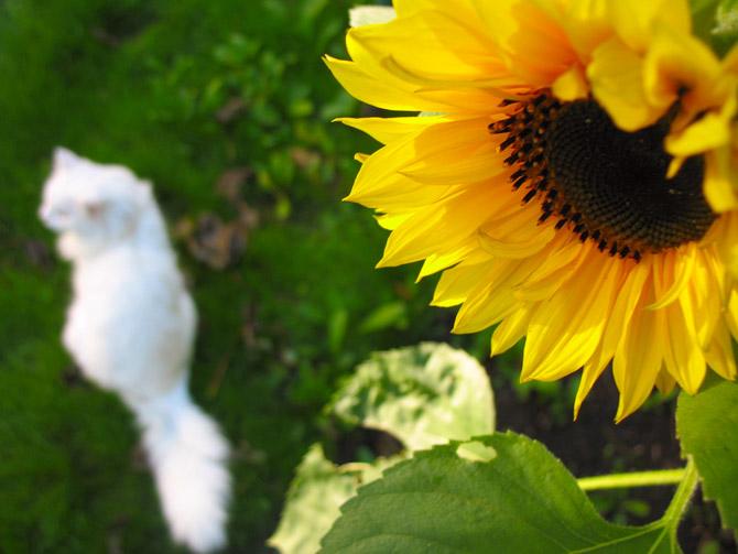 HoaHướngDươngrựcrỡsắcvàngtrongnắng|hoahuongduong|Sunflower(13)