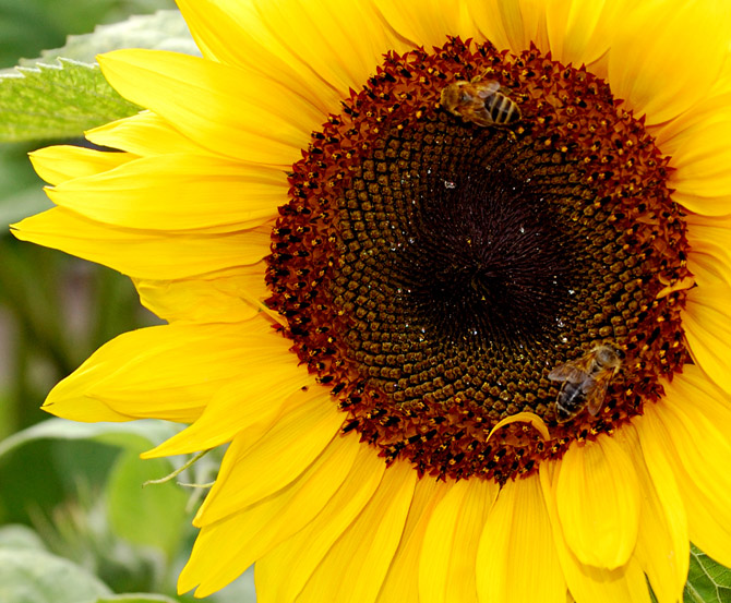 HoaHướngDươngrựcrỡsắcvàngtrongnắng|hoahuongduong|Sunflower(11)