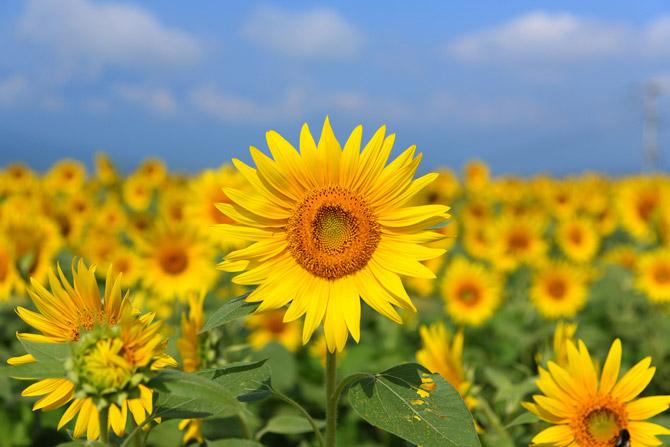 HoaHướngDươngrựcrỡsắcvàngtrongnắng|hoahuongduong|Sunflower(9)