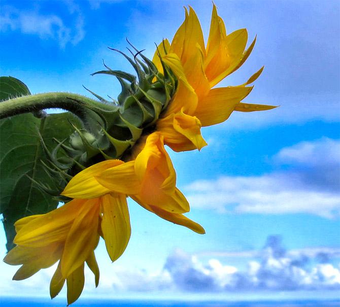 HoaHướngDươngrựcrỡsắcvàngtrongnắng|hoahuongduong|Sunflower(8)