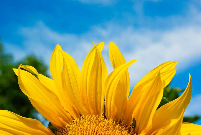 HoaHướngDươngrựcrỡsắcvàngtrongnắng|hoahuongduong|Sunflower(1)
