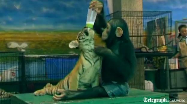 [Video] Tinh tinh cho hổ con uống sữa