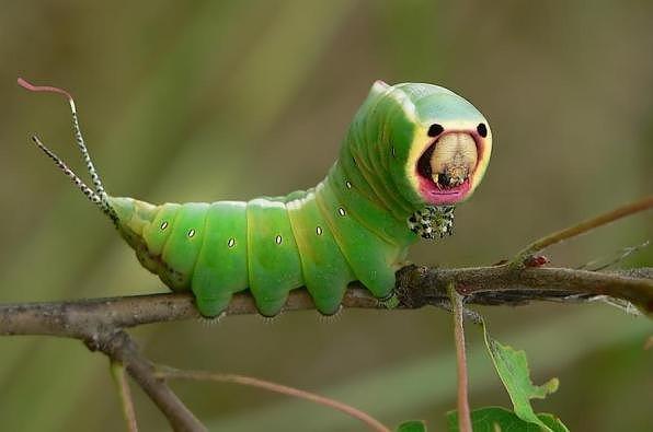 """Kỳ dị những chú sâu bướm """"ngoài hành tinh"""" (16)"""