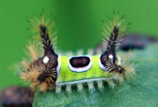 """Kỳ dị những chú sâu bướm """"ngoài hành tinh"""" (5)"""