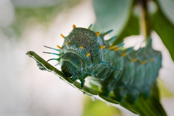"""Kỳ dị những chú sâu bướm """"ngoài hành tinh"""" (4)"""