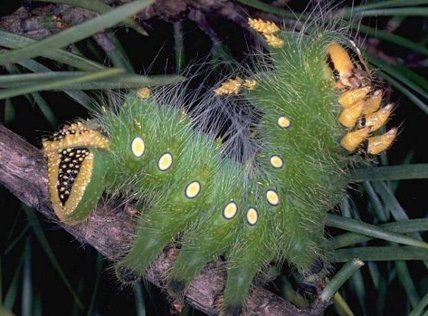 """Kỳ dị những chú sâu bướm """"ngoài hành tinh"""" (10)"""