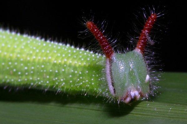 """Kỳ dị những chú sâu bướm """"ngoài hành tinh"""" (9)"""