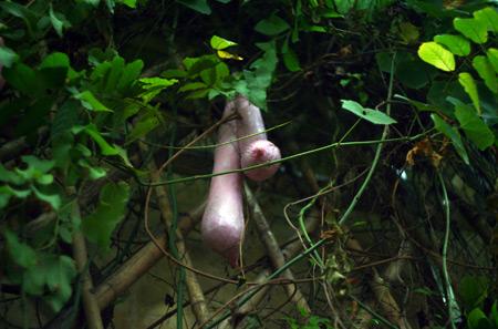 Giàn mướp mọc ra… gò bồng đảo ở Việt Nam | Chuyện lạ (6)