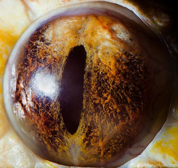 Mắt của trăn bạch tạng.