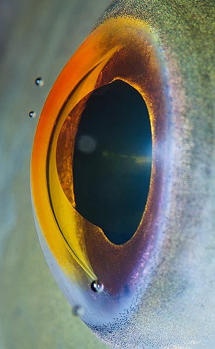 Hai khối cầu trong suốt trong mắt của chú cá này chính là mống mắt và con ngươi.