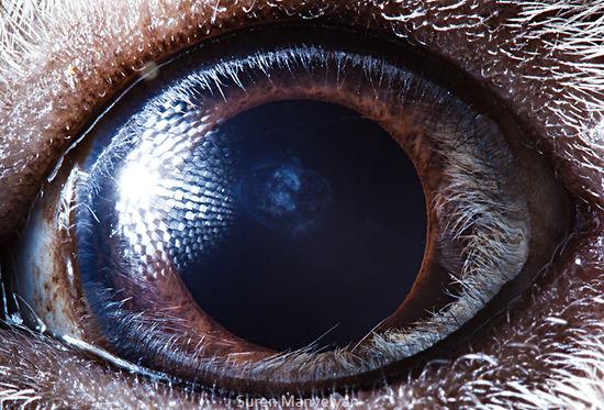 Có cả một vũ trụ bao la bên trong mắt một chú lợn Guinea.