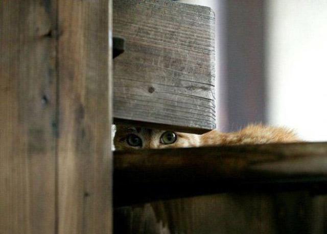 Những đôi mắt tròn xoe của bé mèo xinh   meo xinh   dang yeu (1)
