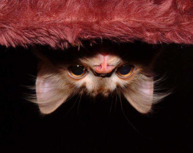 Những đôi mắt tròn xoe của bé mèo xinh   meo xinh   dang yeu (16)