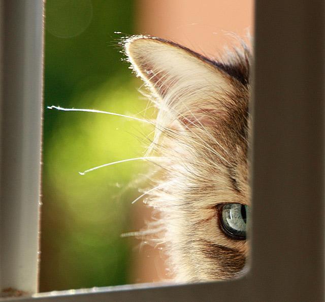 Những đôi mắt tròn xoe của bé mèo xinh   meo xinh   dang yeu (14)
