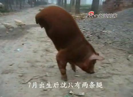 [Video] Chú lợn đi bằng hai chân trước