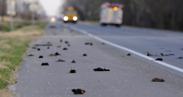 Chim chết hàng loạt: Điềm báo lạ đầu năm mới? (2)