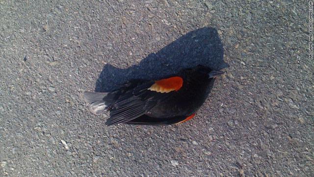 Chim chết hàng loạt: Điềm báo lạ đầu năm mới?