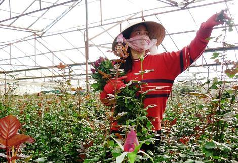 Người trồng hoa Đà Lạt nhộn nhịp vào lễ Valentine