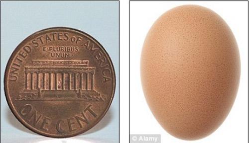 Trong khi đó, vào tháng 8 năm ngoái, một quả trứng gà có kích cỡ đối lập, chỉ nặng 3,46g và dài 2,1cm, tựa như một đồng tiền xu, đã được phát hiện tại Mỹ.