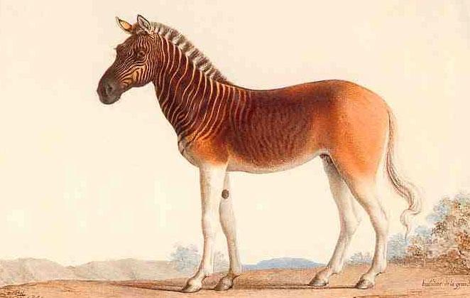Lừa vằn Quagga (Equus quagga) - tuyệt chủng từ năm 1883