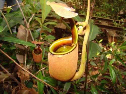 Cây Nepenthes bicalcarata - Ảnh: LiveScience