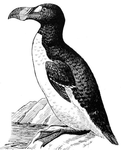 Chim rẽ lớn (Pinguinus impennis) - tuyệt chủng kể từ năm 1844