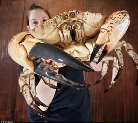 Chú cua được đặt tên Claude này đã được các ngư dân Úc bán lại cho khu trưng bày thủy cung ở Anh