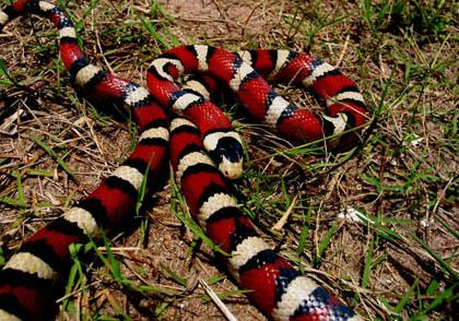 """Khám phá về loài """"rắn vua"""" 3 màu tuyệt đẹp trên núi cao (6)"""