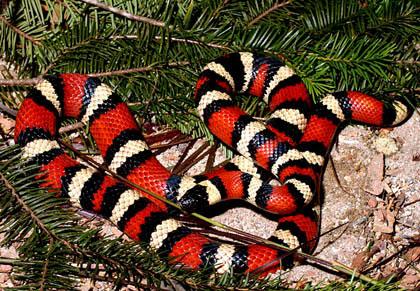 """Khám phá về loài """"rắn vua"""" 3 màu tuyệt đẹp trên núi cao (4)"""