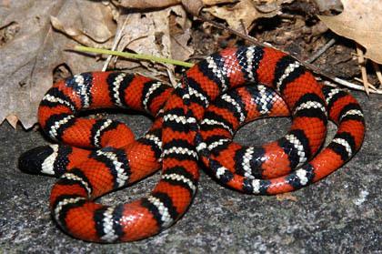 """Khám phá về loài """"rắn vua"""" 3 màu tuyệt đẹp trên núi cao (3)"""