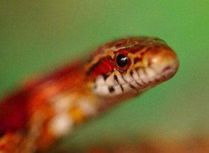 """Khám phá về loài """"rắn vua"""" 3 màu tuyệt đẹp trên núi cao (1)"""